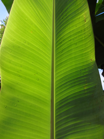 banana leaf in the light