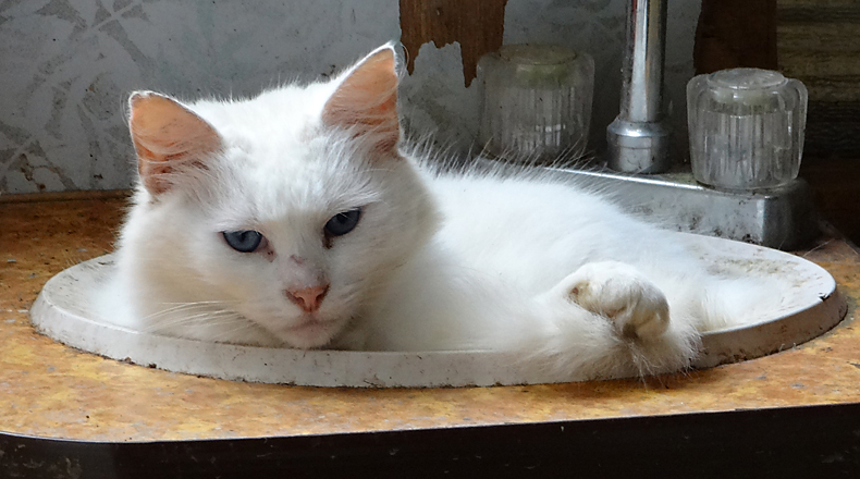 cat in a sink bowl