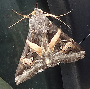 big moth on maui